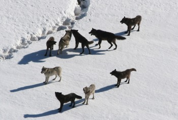 Gibbon wolf pack standing on snow;Doug Smith; March 2007