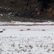 The Junction Butte wolf pack in Yellowstone National Park.